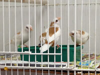 Society and Gouldians finches