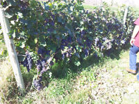 Winery vineyard and bed and breakfast - $1450000 (Osoyoos,BC)