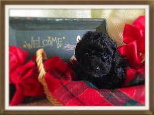 Gorgeous Tiny Toy Poodles - black, chocolate, red