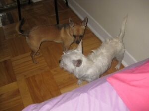 Rehoming Two very cuddly friendly chiwawas one male one female