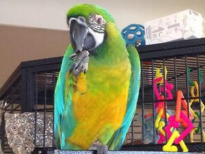 3 year old miligold macaw for sale.