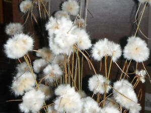 COTTON GRASS SEEDS