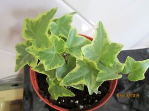 English Ivy - (Air Purifying Plant) - Hanging Plant