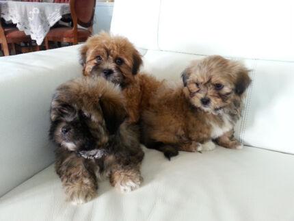 Maltese X Shih Tzu Dogs Puppies Gumtree Australia Dorset Area