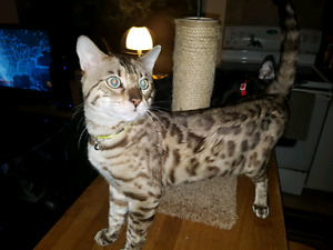 11 month old male Snow Bengal