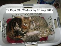 LAST 2 BENGAL Kitten Cub Cat $700. GORGEOUS PUREBRED BENGAL CUBS