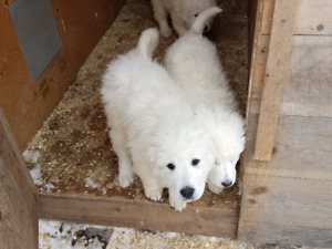 Pyrenees Puppies for Sale