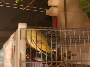 Proven pair of parrotlets