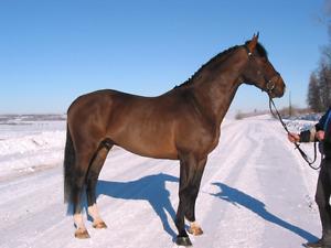 Warmblood Stallion at Stud