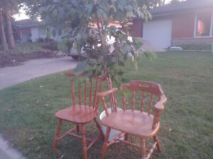 FREE Wooden Chairs and Fig Tree