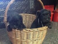 Schnauzer puppies for you!