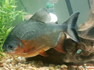 Large Red belly Pacu fish