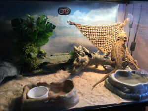 Young Healthy Fancy Bearded Dragon