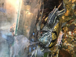 Adult red eared slider