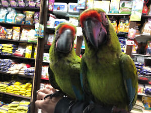 FULLY WEANED BIG BABY BUFFON MACAW AVAILABLE !