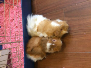 FREE!!Two long haired guinea pigs!! SOLD St. John's Newfoundland image 3