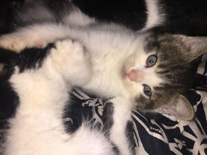 Free kittens (ready oct 7)
