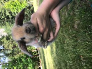 4 Holland Lop Bunnies