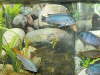 More African Cichlids