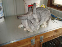 Gray rabbit, female,  Giant mixed with French Lop