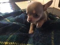 Chihuahua chocolate tri-colour bitch puppy