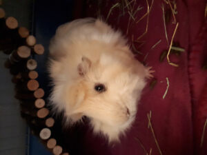Male long haired guinea pig for sale with  cage and accesseries