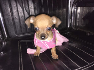Teacup Chihuahua Darling baby Girl