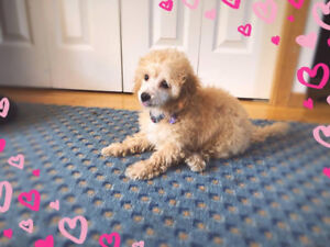 Reduced-Toy Poodle girl puppy