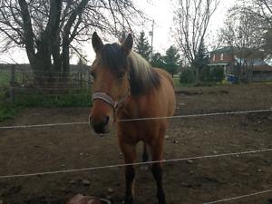 Beautiful Fjord/Quarter horse