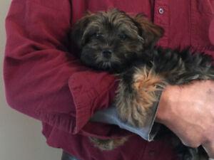 Miniature Schnauzer Yorkie female pup