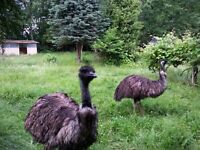 Two Large Birds Want to rent an Acre or more