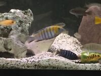 Malawi Fish adults and Juveniles