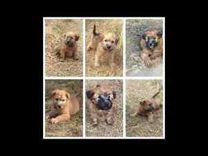 Softcoated Wheaten Terrier Puppies!! Accepting Deposits