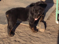Rotti puppies for sale