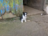 Beautiful collie pup