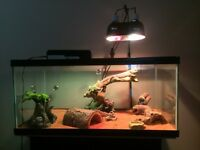 Bearded dragon and tank for sale