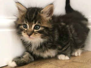 Wanted Long haired kitten