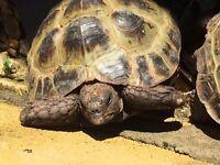 Horsfield Tortoise 9 Years Old