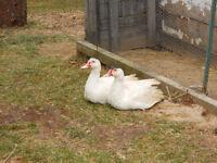 Ducks:muskovi drakes for sale