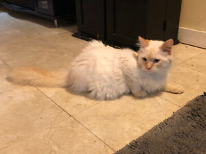 1 Beautiful Siamese  Kitten Left