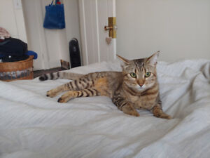 Lost Cat! Bengal/Egyptian Mau. Orange w/black stripes!