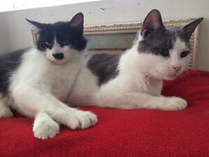 """Female young cat black and white """"CHELSEA"""" London Ontario image 2"""