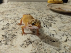 Leopard Gecko For Sale