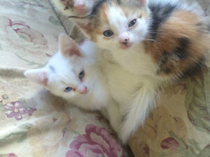 3 kittens two white one calico