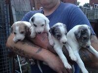 Saluki collie grey whippet pups