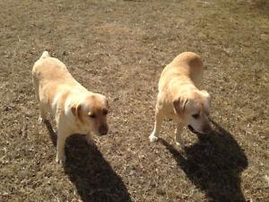 Yellow Labrador retriever cross yellow Labrador
