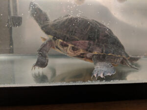 Turtle - red-eared slider