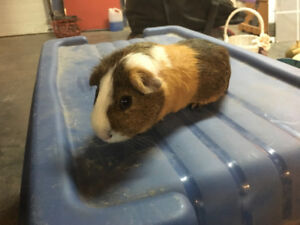 1 Male Guinea pig for sale