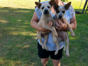 Blue and Red Cattle Dog Puppies