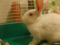 Beautiful white rabbit needs a loving home.